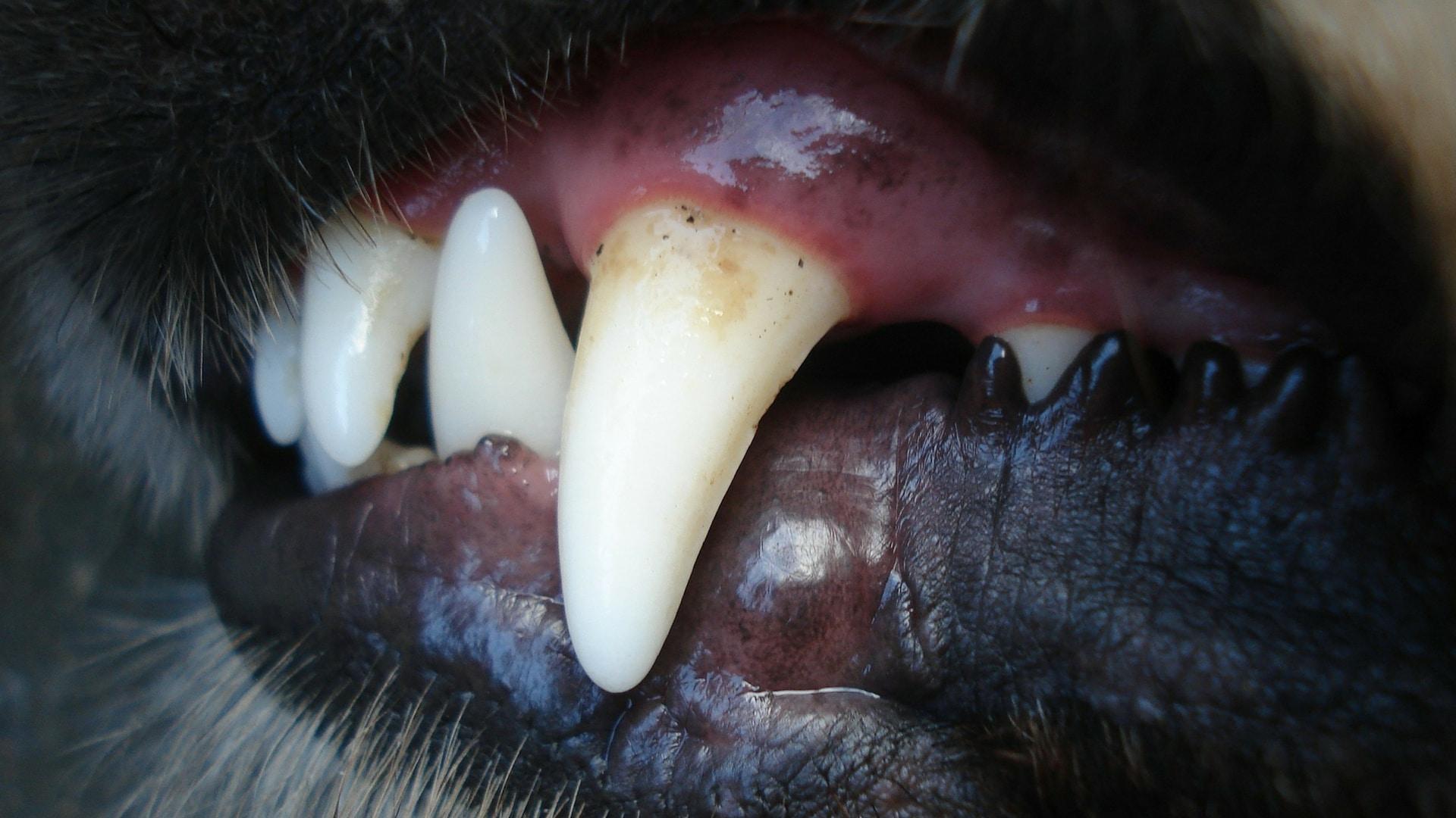 Zahnpflege beim Hund leicht gemacht